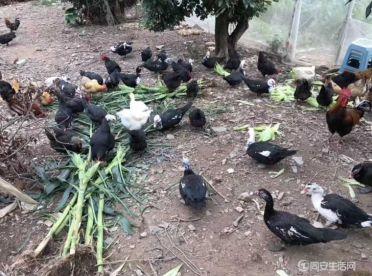 自家放養的土雞土鴨