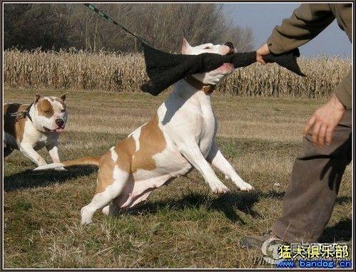 多功能犬种 美国斯塔福