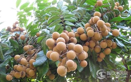"""龙眼是亚热带""""长寿果树""""之一,它的别称很多."""