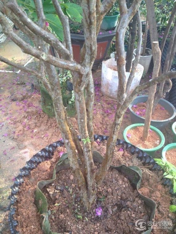 树葡萄嘉宝果