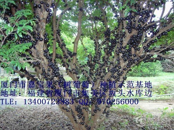 嘉宝果树葡萄树苗转让