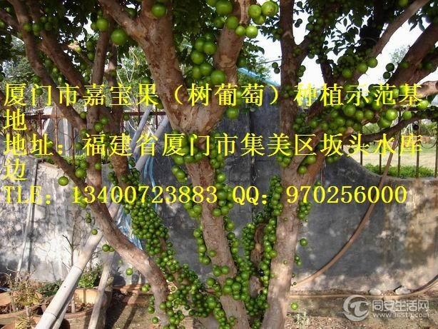 树葡萄嘉宝果树苗转让