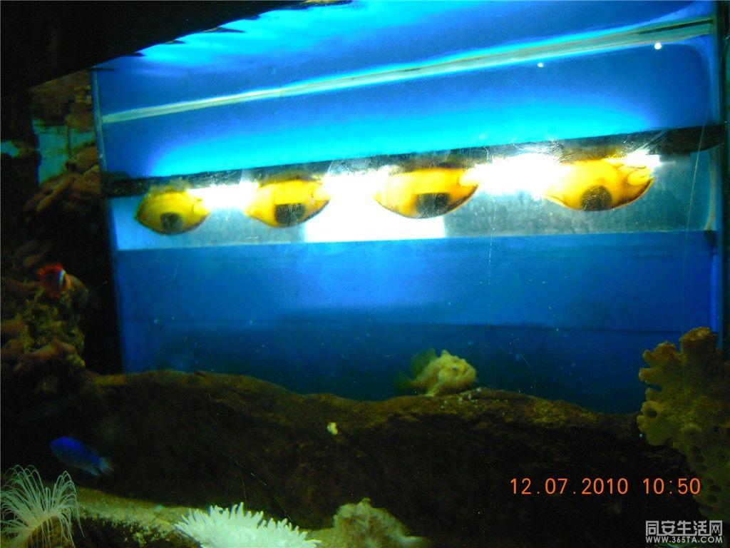 鲨鱼的孵化过程