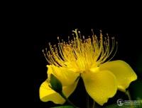 花卉摄影习作集(新:铁线莲 (第34页)