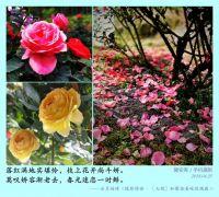 [七绝]玫瑰园即景